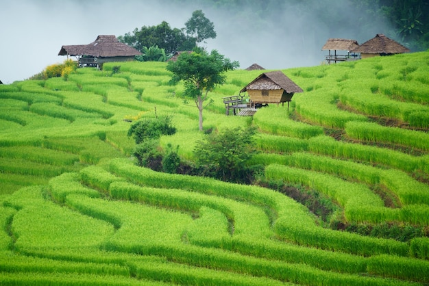 봉 피앙 마을 치앙마이, 태국의 계단식 논