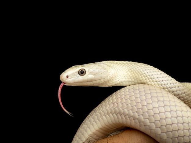 Техасская крысиная змея (elaphe obsoleta lindheimeri) - это подвид крысиной змеи, неядовитого колубрида, обнаруженного в соединенных штатах, в основном в штате техас.