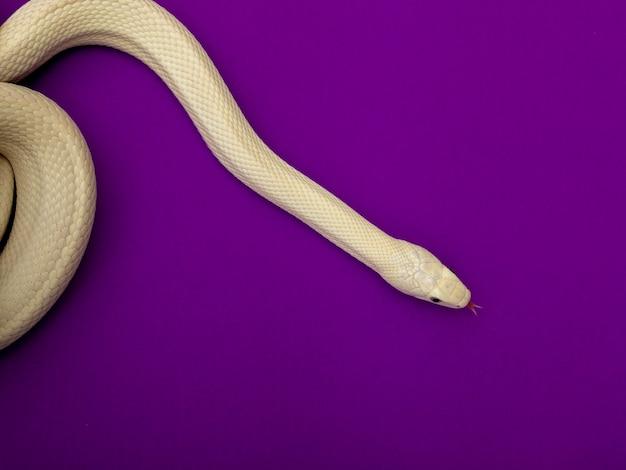 テキサスのネズミヘビ(elaphe obsoleta lindheimeri)はネズミヘビの亜種です