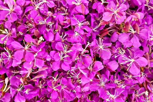 Текстура цветов кипрея розового