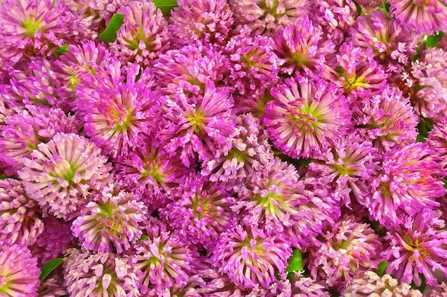Текстура цветов розового клевера и зеленых листьев