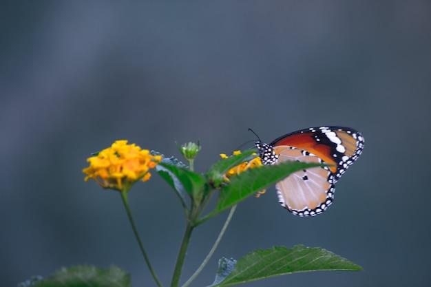 호랑이 나비 또는 danaus chrysippus 나비라고도 하는 꽃 식물에 쉬고 있는 나비
