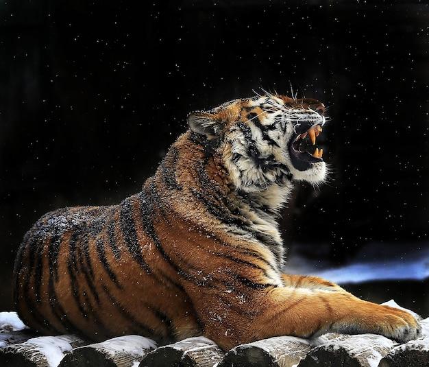호랑이는 통나무에 누워있다