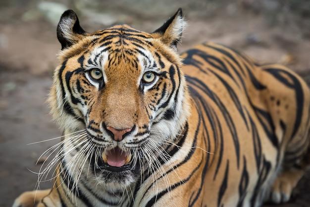 Тигр очень страшно посмотрел на меня. (panthera tigris corbetti) в естественной среде обитания, дикое опасное животное в естественной среде обитания, в таиланде.