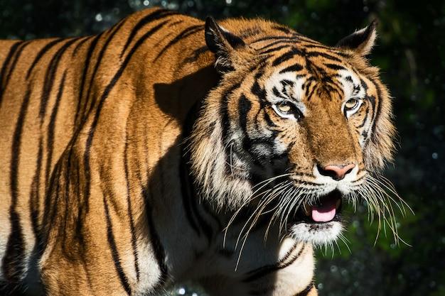 森の中の食べ物を求めてトラがうろつく