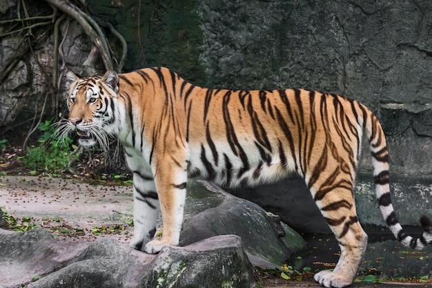 Тигр стоит и с интересом смотрит на что-нибудь. (panthera tigris corbetti) в естественной среде обитания, дикое опасное животное в естественной среде обитания, в таиланде.