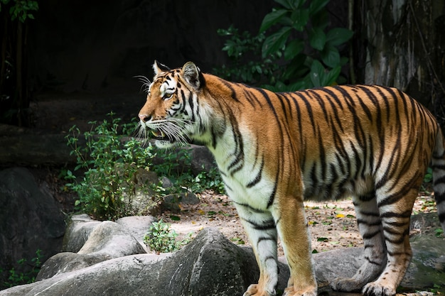 Тигр стоит и с интересом смотрит на что-то.