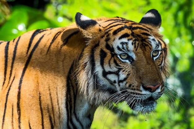 虎は興味を持って何かを見るために立っています。