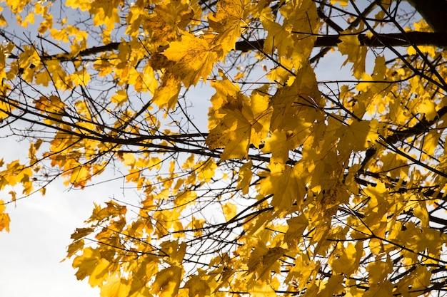 木のてっぺんと樹冠は、紅葉、晴れた日の詳細を考慮して、黄色の葉、木の詳細です