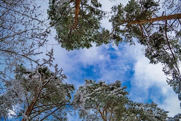 雪の中の木のてっぺん。ラトビアの冬の風景。森の中の雪に覆われた木の枝