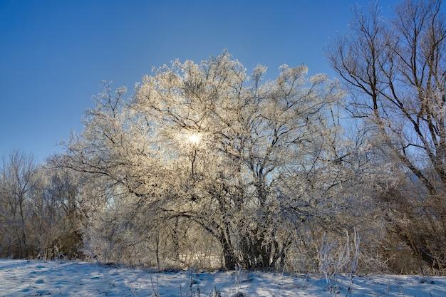 겨울의 나무는 구름이없는 하늘을 배경으로 맑은 날에 흰 서리로 덮여 있습니다.