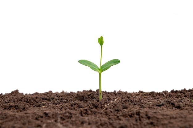 나무는 흰색 배경에 토양에서 자랍니다.