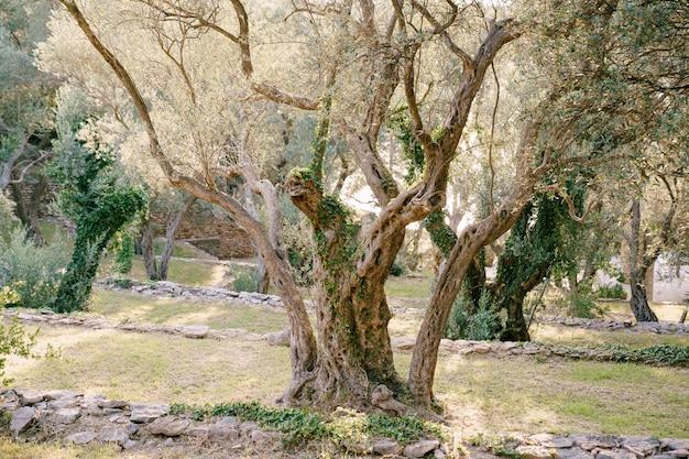 올리브 나무의 줄기는 녹색과 마른 담쟁이로 얽혀 있습니다.
