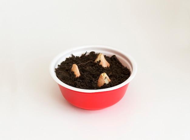 チューリップの球根は地面に植えられています。