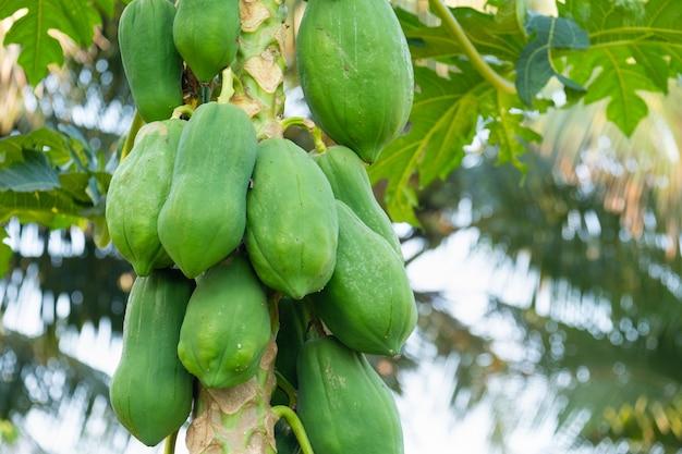 未熟なパパイヤの実は木の上で緑色をしています。