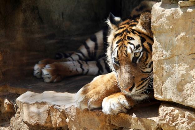 Ussurian tiger는 동물원 예루살렘에서 포로로 슬프다