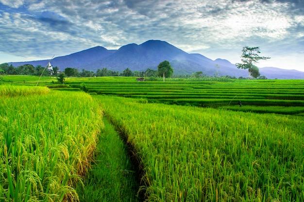 Обширный простор зеленых рисовых полей утром с красивыми горами в индонезии