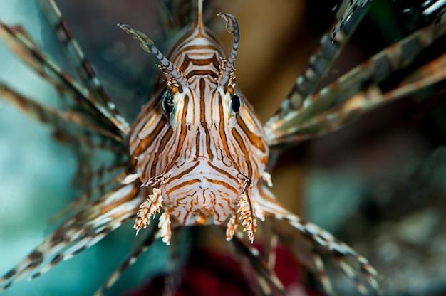 水族館で泳ぐ毒々しいvolitanミノカサゴ
