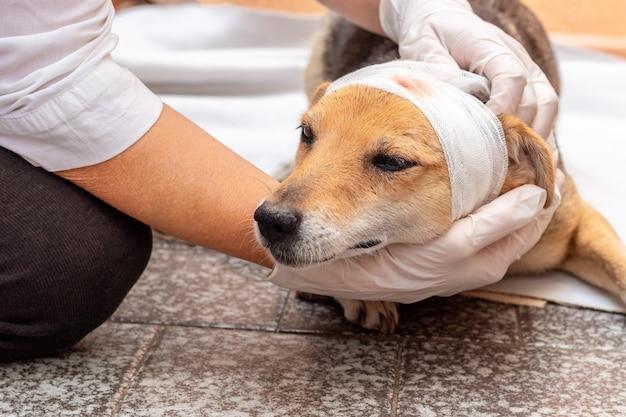 獣医は負傷した犬の頭に包帯を巻く