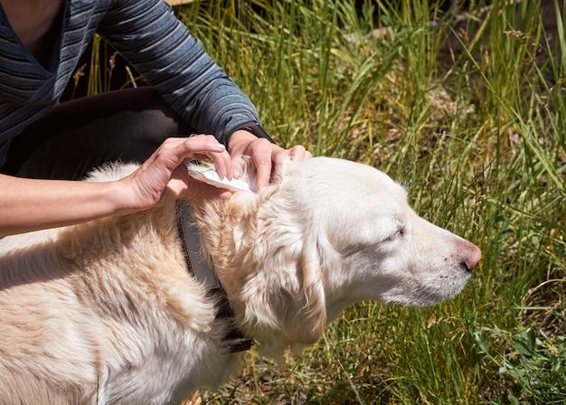 Ветеринар исследует шерсть питомца на наличие паразитов. на холку собаки капают репеллент от блох и клещей.