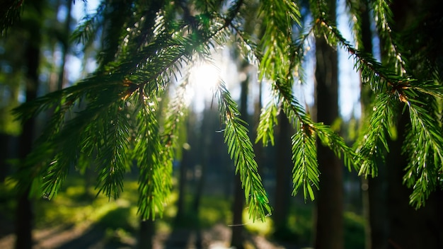 トウヒの枝をもたらす太陽の眺め