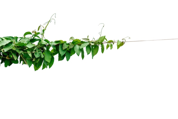 Лоза с зелеными листьями скручена отдельно на белом фоне.