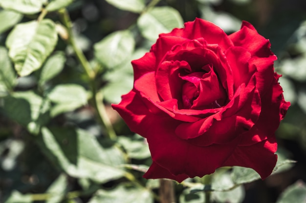 Винтажные красные розы с фоном зеленых листьев в открытом саду.