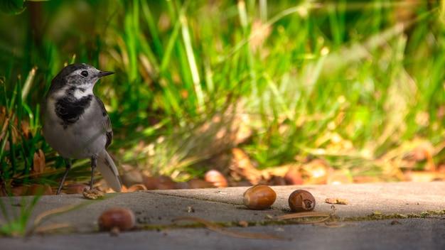 Трясогузка motacilla маленькая перелетная птица.