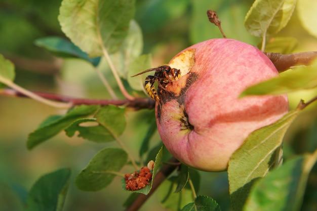 Оса ест яблоко на яблоне. обгрызенное яблоко на дереве. концепция защиты урожая в саду от вредителей.