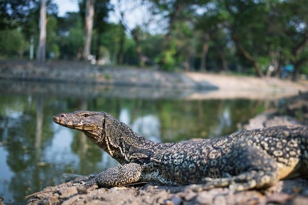 動物園の川で泳いでいるウォーター モニター (ヴァラヌス サルヴァトール)