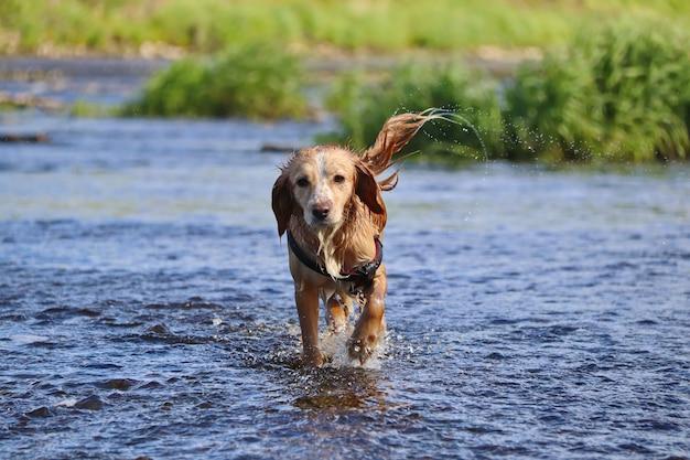 Мокрая рыжая собака бежит по воде и стряхивается