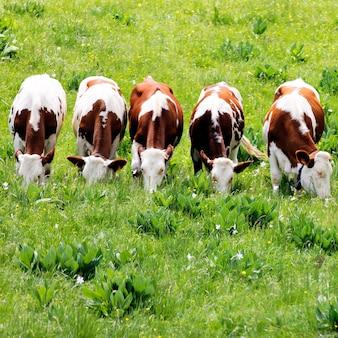 Белые и коричневые коровы пасутся в зеленом поле