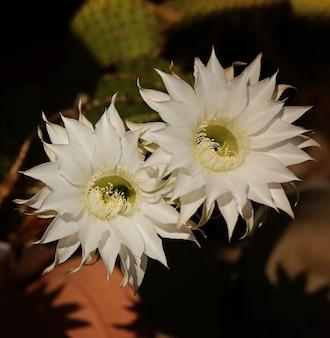 夜の庭に咲く白いサボテンの花