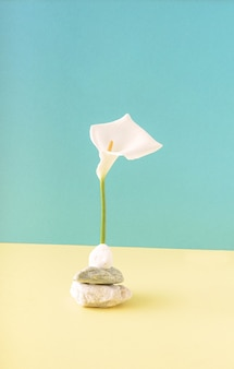 Белый цветок каллы стоит на камне на сочетании синего и светло-желтого фона. концепция весна лето.