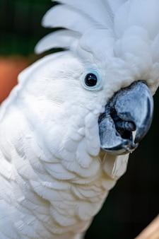 タイハクオウム(cacatua alba)は、アンブレラオウムとも呼ばれ、インドネシアの島々の熱帯雨林に特有の中型の全白オウムです。