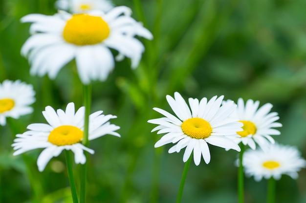 Белые цветы ромашки на фоне зеленой травы