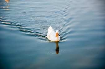 The white duck is swimming on the lake