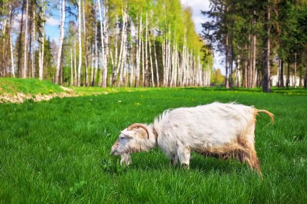 白ヤギは緑の草を食べます。農場で餌をやる白ヤギ