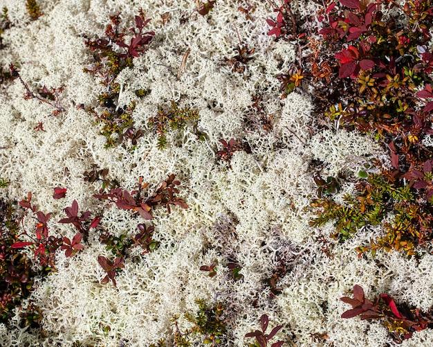 Белые лишайники, розовые листья черники в тундре за полярным кругом. выборочный фокус