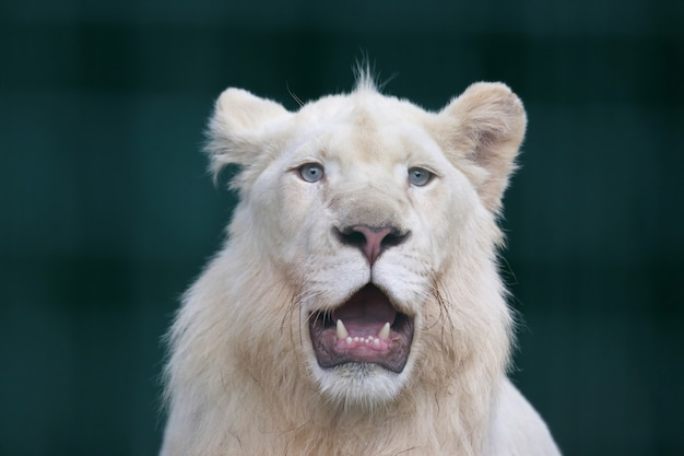 口を大きく開けたホワイトライオン