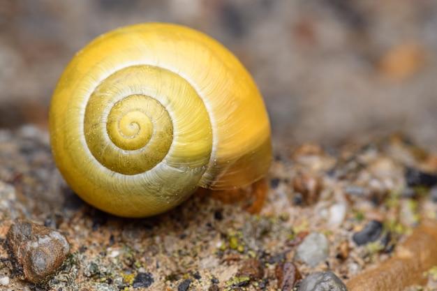 흰입술 달팽이 또는 정원띠달팽이(cepaea hortensis) 노란색