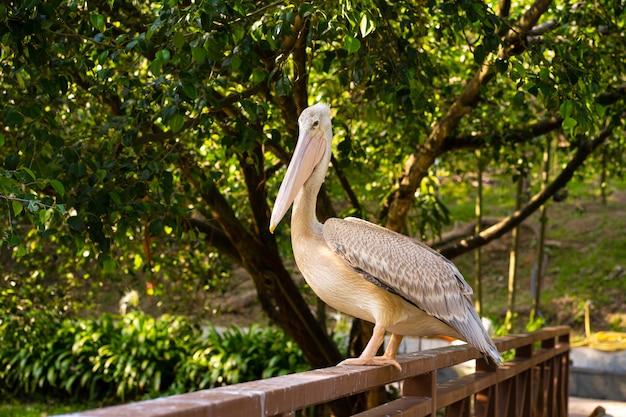 Белый пеликан, который живет в парке птиц, сидит на перилах моста
