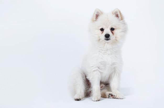 화이트 포메라니안 강아지 앉아 흰색 절연
