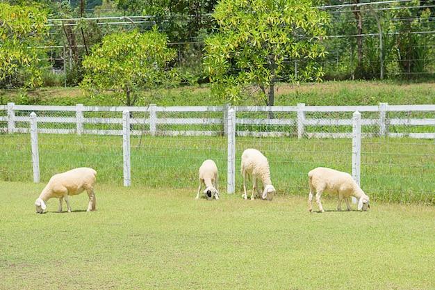 白い羊は農場の木やフェンスで草を食べます。