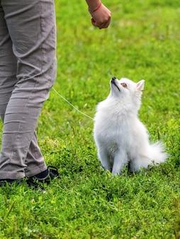 白いスピッツ犬は愛人の手を見つめ、愛人は彼を治療するために治療します