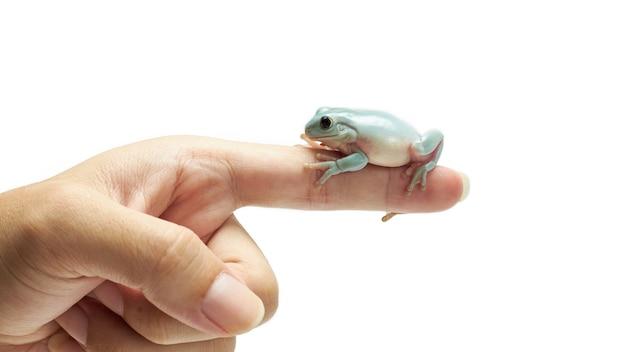 人間の指に白いアマガエル。