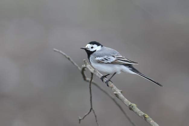 タイリクハクセキレイ(motacilla alba)は、曇りの天気で木の枝に撃たれました