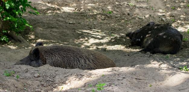 지면에서 루팅하는 야생 멧돼지