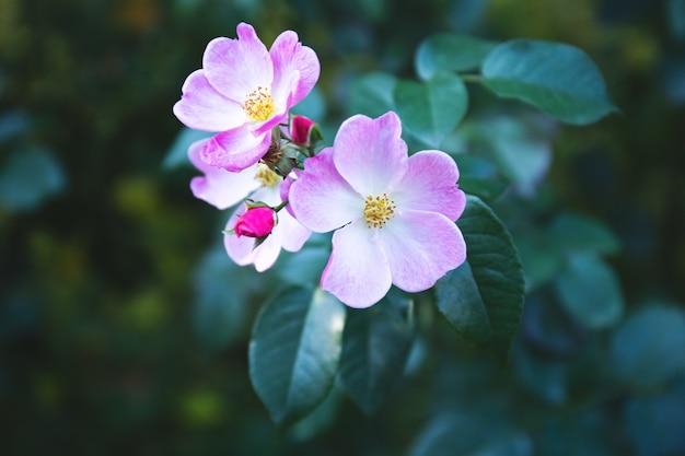 Цветет куст шиповника весной. яркие красивые цветки шиповника нежно-розового цвета пастельных тонов. крупный план цветов шиповника, мягкий фокус. шиповник заваривают в чае.