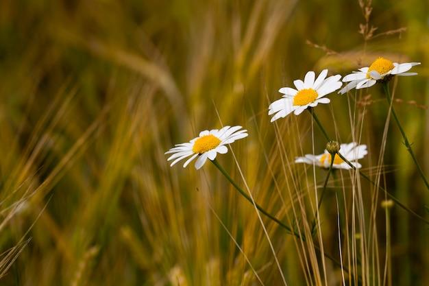 畑で育つ野生の白いヒナギク。シャープネスの深さが小さい